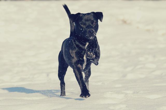 Einäugiger Hund tipselt fröhlich durch den Schnee.