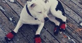 Hund hat Schuhe an und leigt auf frostigen Holzboden .